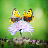 Two butterflies sitting on a little flower Royalty Free Stock Image