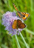 Two beautiful butterflies feeding on flower royalty free stock photos