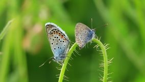 Two butterflies with speckled wings sit on villous stalk swaying in wind. Two little butterflies with black and orange flecks on wings sit on villous stalk stock video