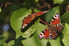Two butterflies. Two brown butterflies on green foliage stock image
