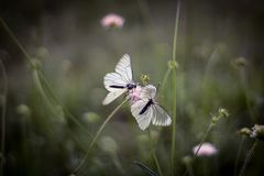 Two butterflies stock photography