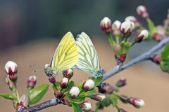 Two butterflies in white and yellow sit together on a blossoming branch Stock Images