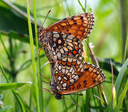 Two butterfly Royalty Free Stock Photo
