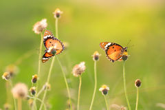 Two butterfly. Two beautiful butterfly on green background from the nature Royalty Free Stock Photos