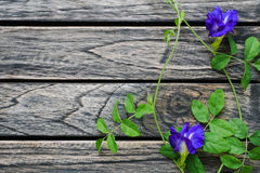 Two Butterfly blue pea flowers wooden background with copy space Stock Image