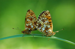 Two butterfly Stock Photography