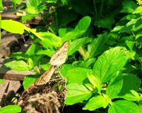 Two butterfly on dry leaves under sun light in green garden Royalty Free Stock Images