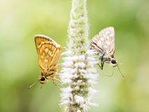 Two butterfly on the flower Stock Images