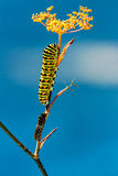 Two butterfly larvae. A close-up look at two butterfly larvae, crawling up a stem in the later summer stock photography