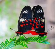 Two butterfly love. Love able two butterfly love and affection Royalty Free Stock Photos