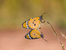 Two Butterfly, Season for breeding of butterfly Royalty Free Stock Image