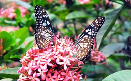 The two butterflyes on the flower.. royalty free stock photo