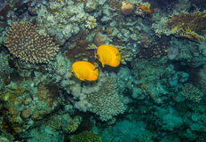 Two butterflyfish. Swiminng near the stone wall of Red Sea coral reef Stock Image