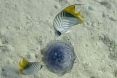 Two butterly angel fish Royalty Free Stock Image