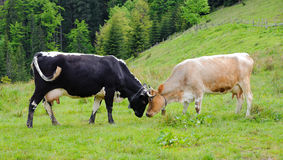 Two butting cows in the meadow. Two milk cows in the meadow. There is lush green grass in the meadow Royalty Free Stock Photos