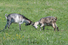Two butting goat. In the pasture Royalty Free Stock Photo