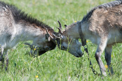 Two butting goat. Young goats butt in a meadow Royalty Free Stock Photos