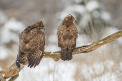 Two buzzards looking right Royalty Free Stock Photography