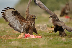 Two buzzards Stock Photography