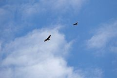 Two buzzards in the sky Stock Photography