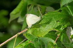 Cabbage White Butterfly - Pieris rapae. Two Cabbage White Butterflies mating on a leaf. Presqu`ile Provincial Park, Brighton, Ontario, Canada stock images