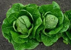 Two Cabbages Stock Photos