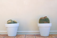 Two cacti in pots Royalty Free Stock Images