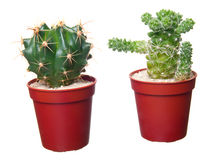 Two cactus. On white background Stock Photo