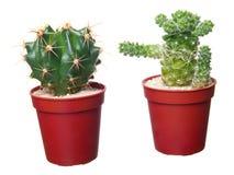 Two cactus Stock Photo
