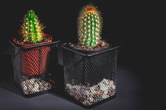 Two cactus in a decorative pot on a dark background. Low key lighting. Low key lighting. Two cactus in a decorative pot on a dark background royalty free stock photography