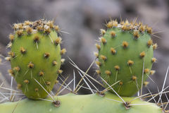 Two cactus Leave Royalty Free Stock Photography