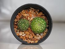 Two cactus plant in plastic pot. Stock Photos