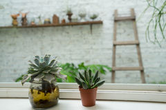 Two cactus on the window. Decoration cactus on the window Royalty Free Stock Image