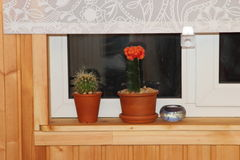 Two cactus on a wooden window sill. White window curtains Stock Photography