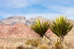 Two Cactuses in Foreground Stock Images