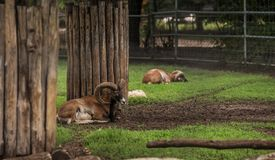 Big horned brown goat in a zoo Royalty Free Stock Images