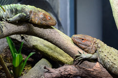 Two caiman lizards Stock Photo
