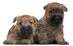 Two Cairn Terrier Puppies, 6 weeks old Stock Photo