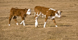 Two calf Stock Image