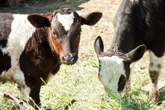 Two calf Royalty Free Stock Images
