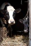 Two calf Stock Image