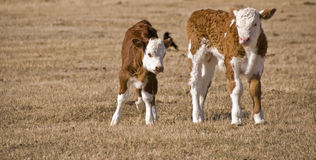 Two calfs Royalty Free Stock Image