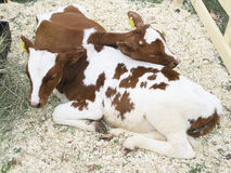 Two calfs royalty free stock photos