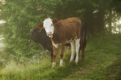 Two calfs Royalty Free Stock Images