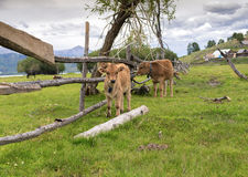 Two calfs in a meadow pasture. In kazakhstan at summer stock photo