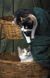 Two calico cat playing together Stock Image