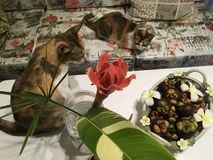 Two calico cats with tropical home decor -torch ginger flowers vase and mangosteen fruits basket. Two calico cats with tropical home decor- torch ginger flowers royalty free stock images