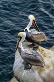 Two California brown pelicans cliffside stock images