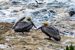 Two pelicans resting stock image