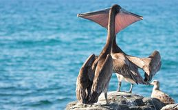 Two California Brown Pelicans stretching / inflating throat pouches on rocky outcrop at Punta Lobos in Baja California Mexico. BCS Stock Photos